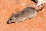 Long- haired Rat (Rattus villosissimus)