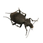 Carabus gigas the ground beetle