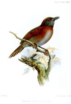 Rufous-breasted spinetail (Synallaxis erythrothorax)