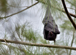 검은날여우박쥐 (Pteropus alecto, Black Flying Fox)