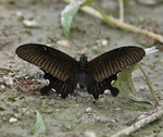 Yellow Helen (Papilio nephelus chaon)