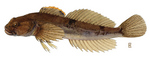 Slimy sculpin (Cottus cognatus)