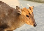 hairy-fronted muntjac, black muntjac (Muntiacus crinifrons)