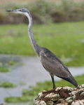 Black-headed heron (Ardea melanocephala)