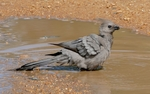 Grey go-away-bird (Corythaixoides concolor)