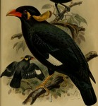 Nias hill myna (Gracula robusta)