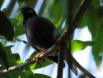 Sri Lanka hill myna (Gracula ptilogenys)