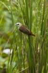 pale-headed munia (Lonchura pallida)