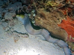 banded moray (Gymnothorax rueppelliae)