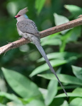 Blue-naped mousebird (Urocolius macrourus), formerly blue-naped coly (Colius macrourus)