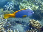 blue-and-yellow grouper (Epinephelus flavocaeruleus)