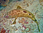 foursaddle grouper (Epinephelus spilotoceps)