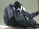 black crested gibbon (Nomascus concolor)