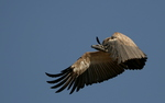 Cape griffon, Cape vulture, Kolbe's vulture (Gyps coprotheres)