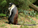 Roloway monkey (Cercopithecus roloway)