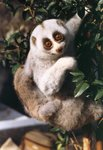 Bengal slow loris, northern slow loris (Nycticebus bengalensis)