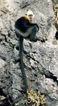 white-headed langur (Trachypithecus poliocephalus)