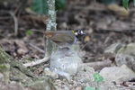 white-eared ground sparrow (Melozone leucotis)