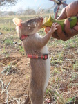 Gambian pouched rat (Cricetomys gambianus)