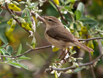 Canary Islands chiffchaff (Phylloscopus canariensis)