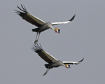 Grey Crowned Crane, crested crane (Balearica regulorum gibbericeps)
