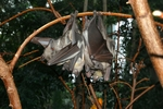 Straw-coloured fruit bat (Eidolon helvum)