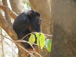 Black howler, black-and-gold howling monkey (Alouatta caraya) Male