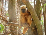Black howler, black-and-gold howling monkey (Alouatta caraya) Female