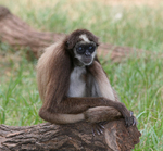 Brown spider monkey, variegated spider monkey (Ateles hybridus)