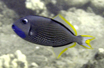 Gilded triggerfish, blue-throated triggerfish (Xanthichthys auromarginatus)