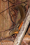 plantain squirrel, oriental squirrel, tricoloured squirrel, Callosciurus notatus