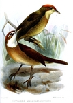 white-throated oxylabes (Oxylabes madagascariensis)