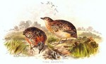 yellow-legged buttonquail (Turnix tanki)