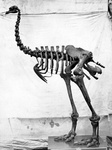 Heavy-footed moa (Pachyornis elephantopus)