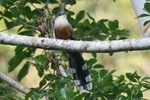 Chestnut-bellied cuckoo (Hyetornis pluvialis)