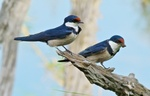 White-throated swallow (Hirundo albigularis)