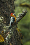 rufous-bellied woodpecker, rufous-bellied sapsucker (Dendrocopos hyperythrus)