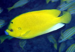 Apolemichthys trimaculatus, threespot angelfish