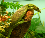 emerald tree monitor, green tree monitor (Varanus prasinus)