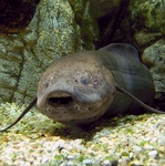 West African lungfish (Protopterus annectens)