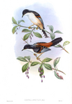 rufous-backed sibia (Heterophasia annectens)
