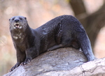 spotted-necked otter, speckle-throated otter (Hydrictis maculicollis)