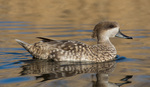 marbled duck, marbled teal (Marmaronetta angustirostris)