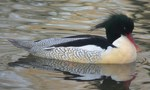 scaly-sided merganser, Chinese merganser (Mergus squamatus)