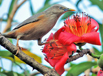 chestnut-tailed starling, grey-headed myna (Sturnia malabarica)