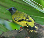 black-headed bulbul (Pycnonotus atriceps)