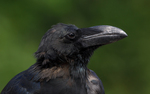 jungle crow, large-billed crow (Corvus macrorhynchos)