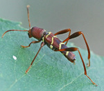 Neoclytus acuminatus (red-headed ash borer)