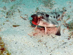 Ogcocephalus darwini (Galápagos batfish, red-lipped batfish)