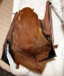 western red bat, desert red bat (Lasiurus blossevillii)